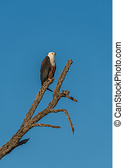 African fish eagle on dead tree stump