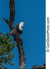 African fish eagle perched on dead tree