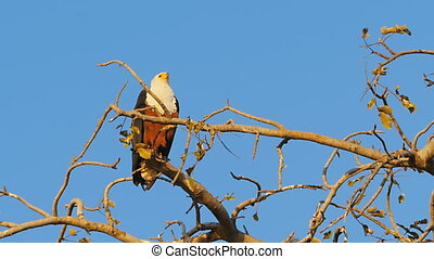 african fish eagle standing ona tree looking for prey