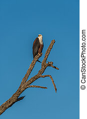 African fish eagle sitting on dead tree stump