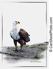 African Fish Eagle with id tag