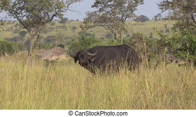 African Forest Buffalo in Pasture of Natural Reserve, African Savanna Safari
