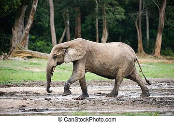 African Forest Elephant ( Loxodonta cyclotis).