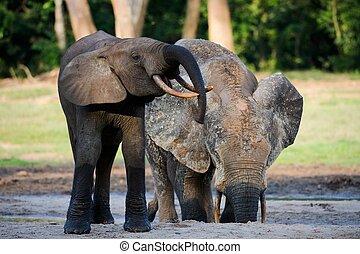 African Forest Elephants ( Loxodonta cyclotis).