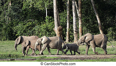 African Forest Elephants ( Loxodonta cyclotis). - The...