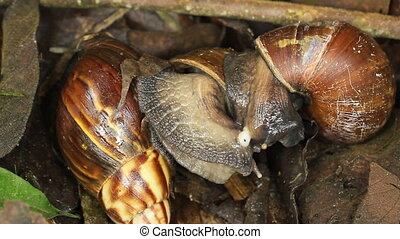 African Giant Snails (Achatina fulica) mating.