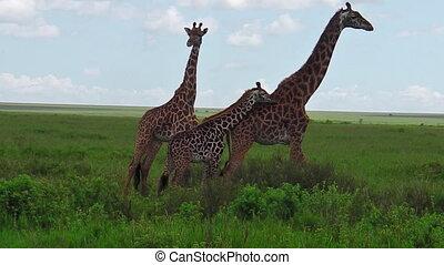 African giraffe family - African giraffes herd with their...