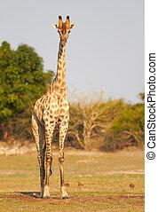 African Giraffes - A Female Giraffe standing on the banks of...