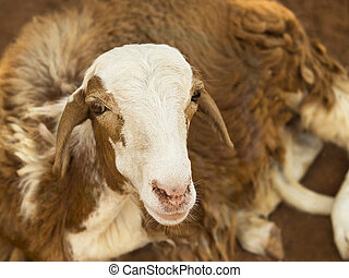 African goat on a red soil