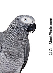 African Grey Parrot isolated on white - African Grey Parrot...