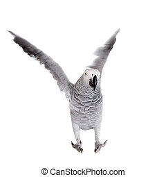 African Grey Parrot, isolated on white background - African ...