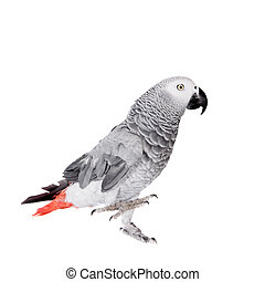African Grey Parrot, isolated on white background - African...