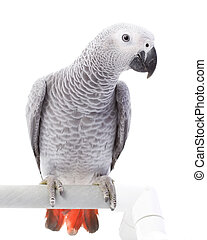 African Grey Parrot (Psittacus erithacus) on white...