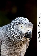 African Grey Parrot Portrait 3
