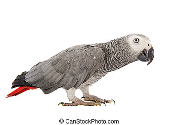 African Grey Parrot ,Psittacus erithacus in front of white...