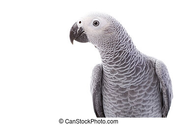 African Grey Parrot (Psittacus erithacus) on white ...