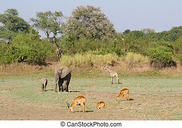 A scene from the South Luangwa valley in Zambia with three different species of animal completely comfortable with each others company.