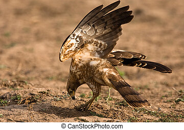 African Harrier Hawk catching crabs by digging in the ...
