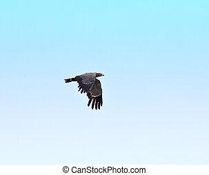 African Harrier-hawk in flight