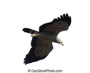 African harrier-hawk, Polyboroides typus, single bird in ...