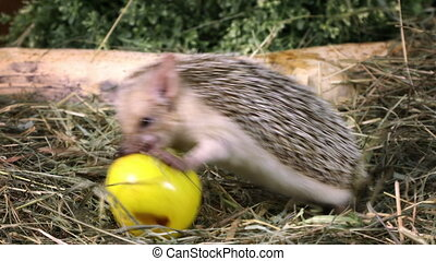 African hedgehog eating an apple