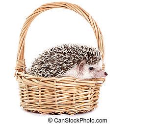 African hedgehog in the basket