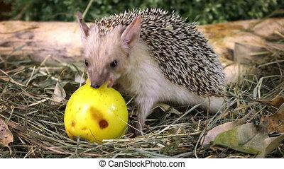 African hedgehog with apple - Little African hedgehog eating...
