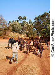 African herders bring small herds of cows grazing-Tanzania-...