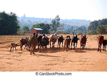 African herders bring small herds of cows...