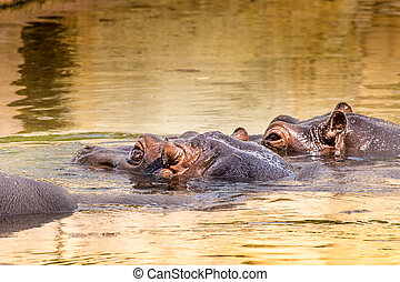 African hippo in their natural habitat. Kenya. Africa.