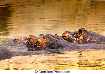 African hippo in their natural habitat. Kenya. Africa.