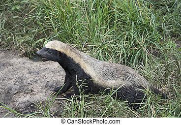 african honey ratel - african honey badger or Mellivora...