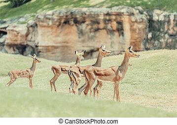 African Impala (Aepyceros Melampus) Antelope