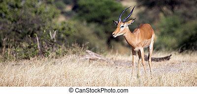 African Impala - Impala taken in Tarangire national park,...