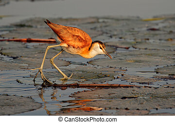 African Jacana (Actophilornis africana) on a water lily leaf, southern Africa
