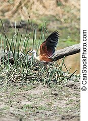 African jacana spreading its wings for take off