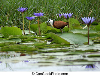 """a bird named """"African Jacana"""" and blue water lilies in Uganda (Africa)"""