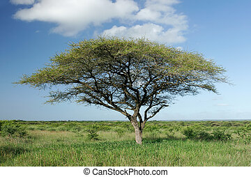 African landscape with an African Acacia tree (Acacia tortilis), Mkuze game reserve, South Africa