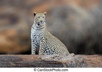 african leopárd, nemzeti park, közül, kenya