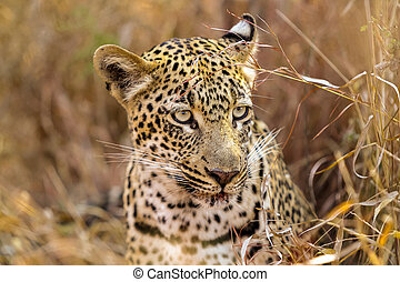 African Leopard in the grass