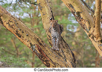 African Leopard (Panthera Pardus Pardus) resting on a tree branch, Africa
