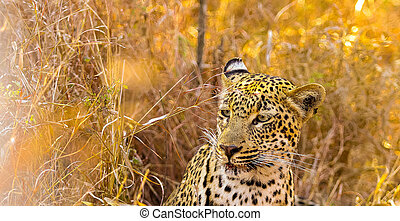 African Leopard sitting in the grass