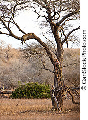 African leopard sleeping in a tree