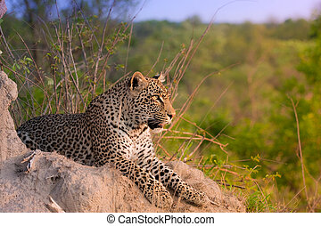african leopard - young adult male leopard on a termite ...