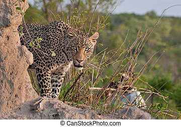 african leopard - young adult male leopard on a termite...