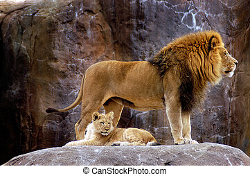 An adult male lion protects his young lion cub son.