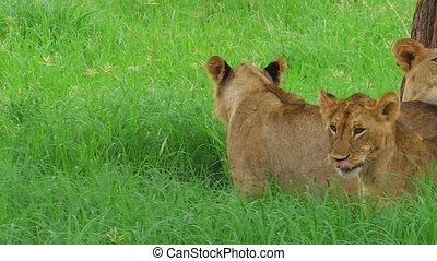 African lion close up