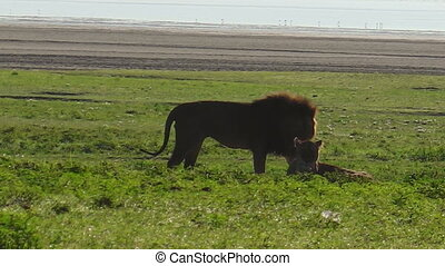 African lion couple mating in the grass of the Ngorongoro Crater of Tanzania, Africa. Panthera Leo in natural habitat. The lion is part of the popular Big Five.