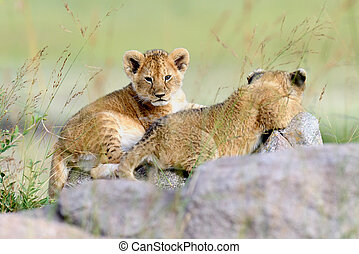 Lion cub - African Lion cub in National park of Kenya,...