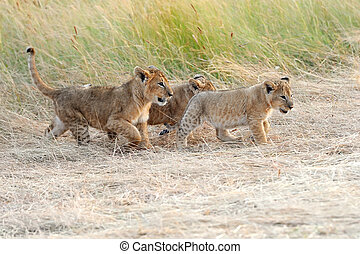 Lion cub - African Lion cub in National park of Kenya, ...